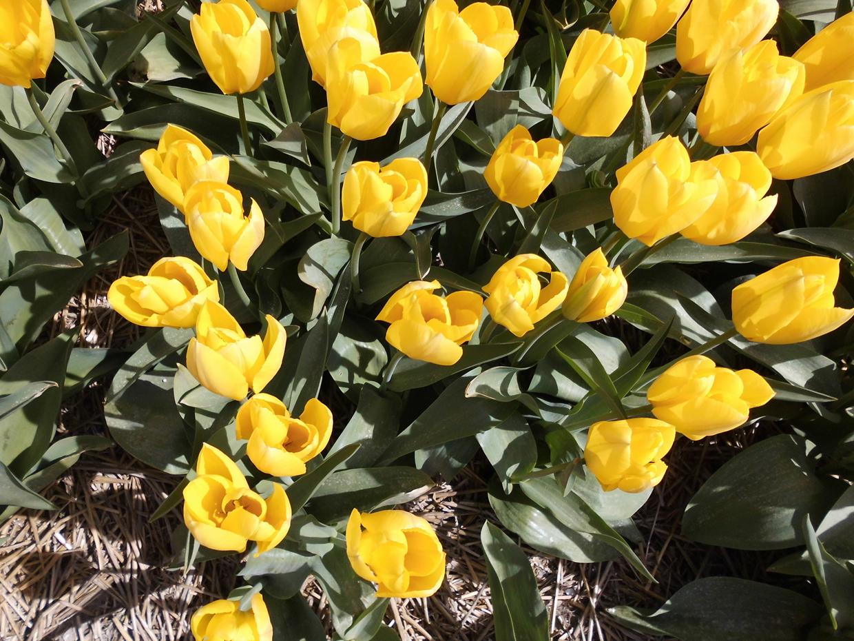 Blumenfeld in Petten