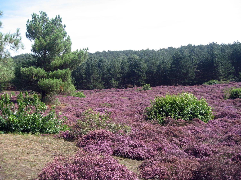 Ein großes Heidefeld in Schoorl